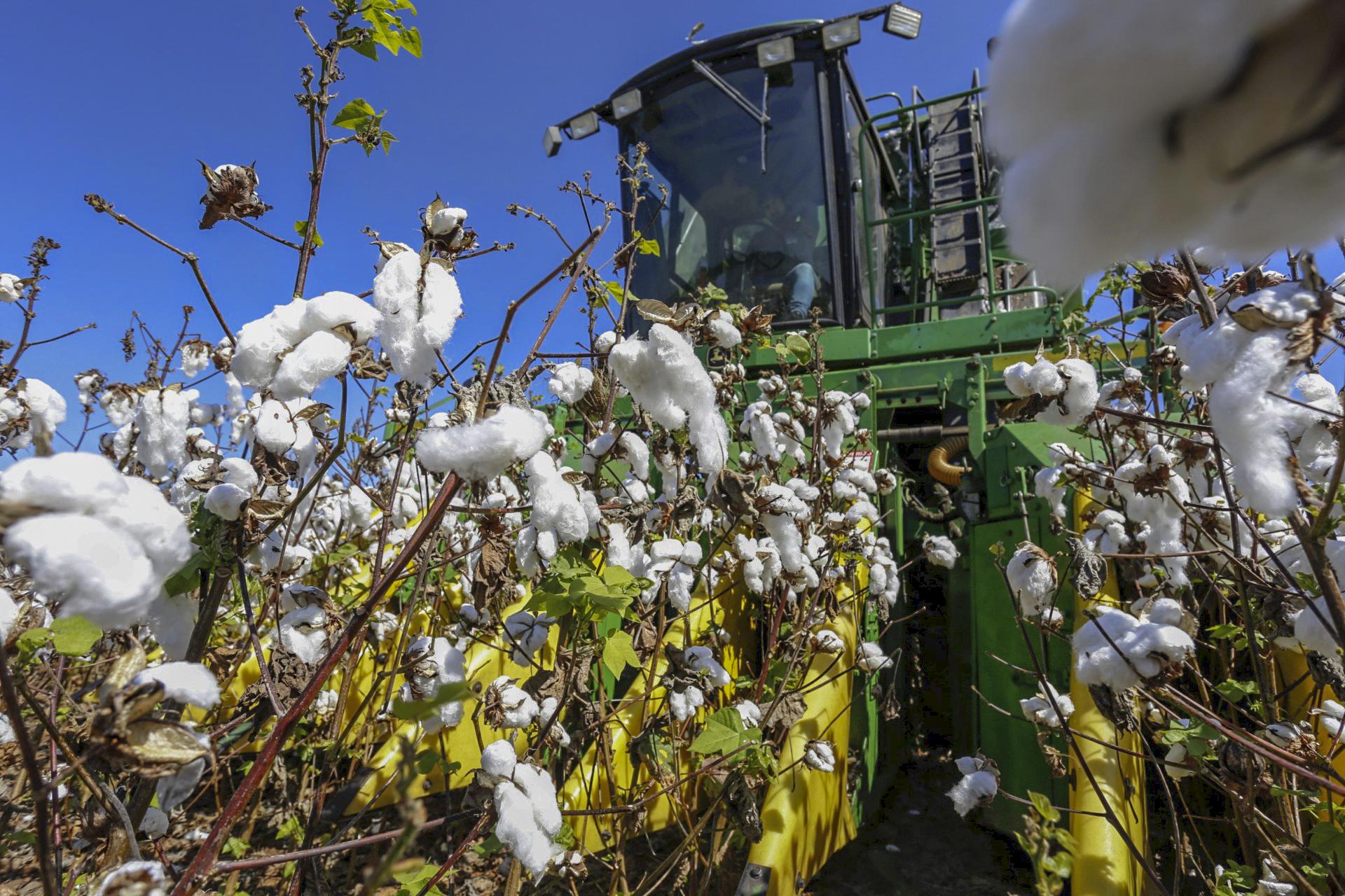 Ceará investe em tecnologia e manejo para voltar a ser um dos principais produtores de algodão no Brasil