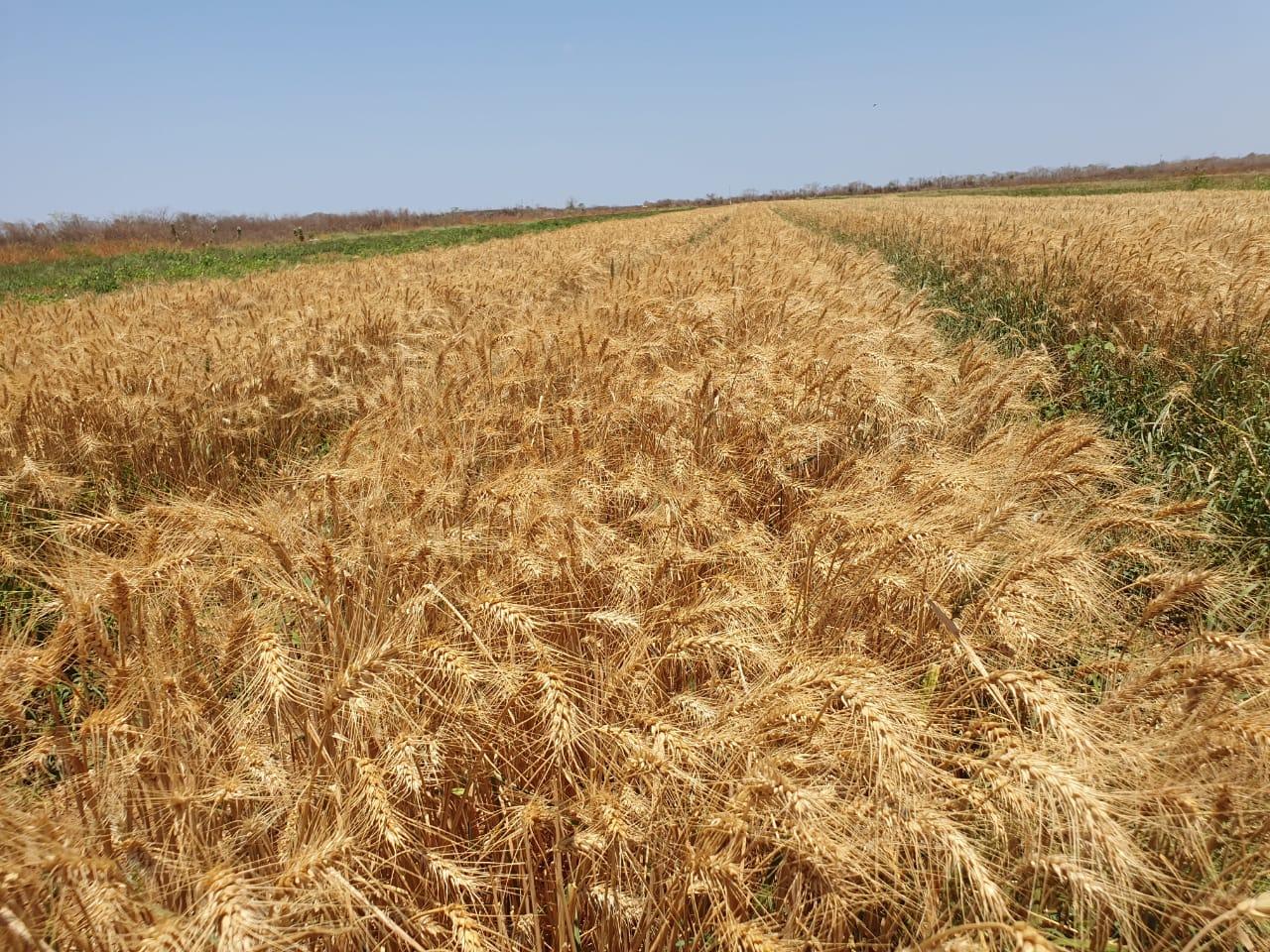 Segunda colheita de trigo no Ceará é acompanhada por técnicos da Sedet