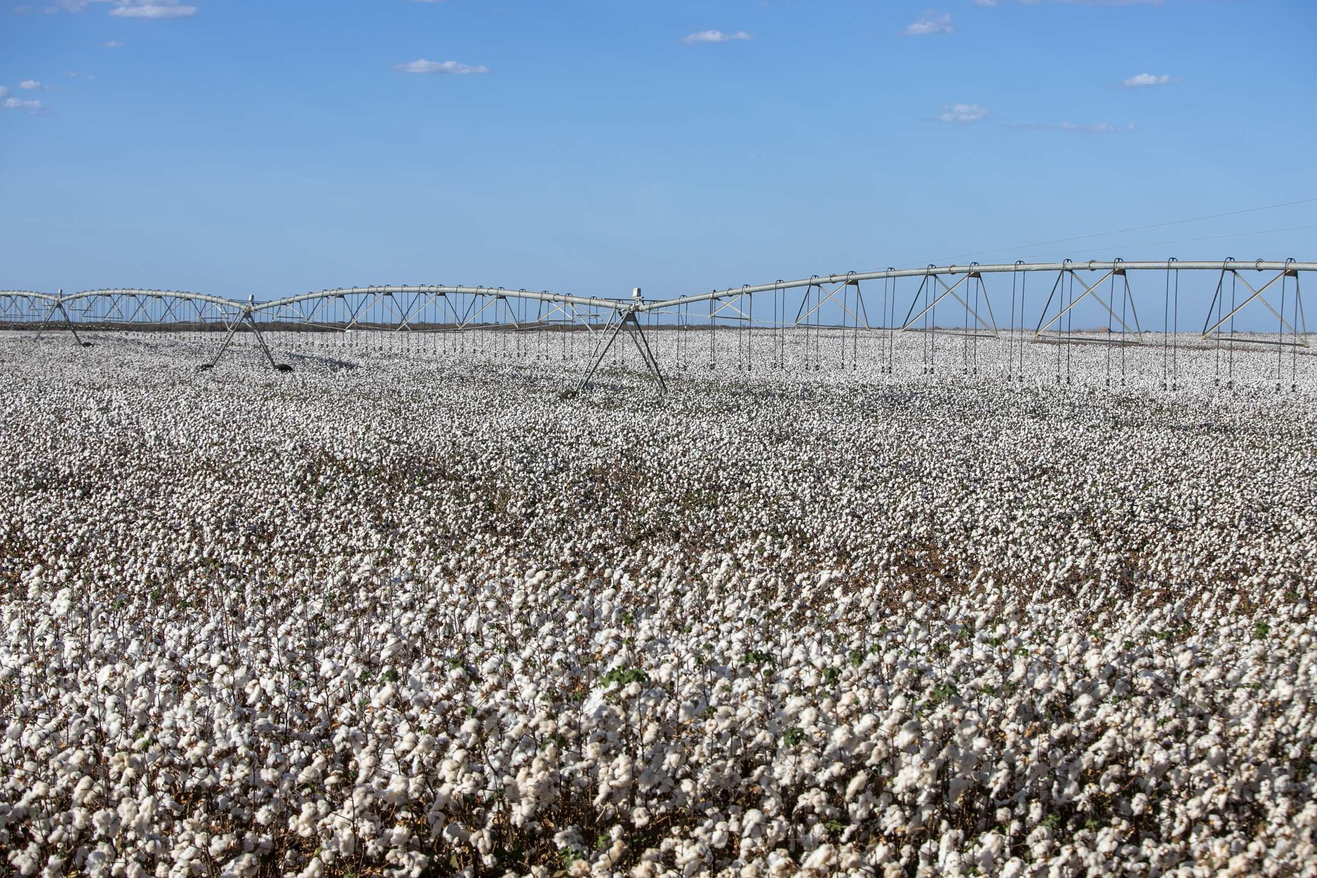 Colheita do algodão no Ceará deverá bater recorde de produtividade